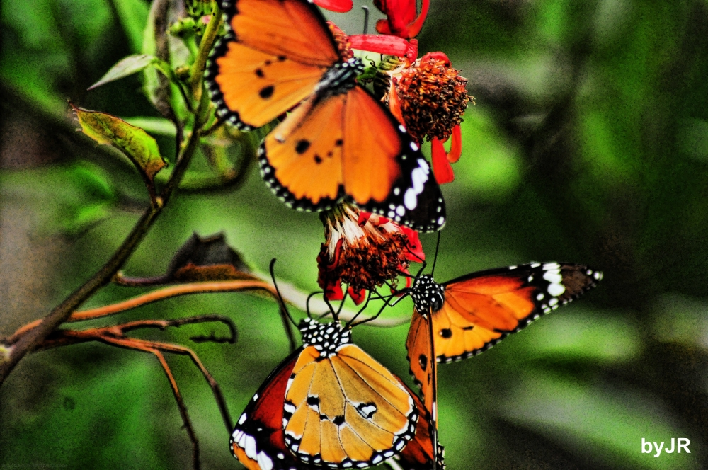 A trio of dacing butterflies.