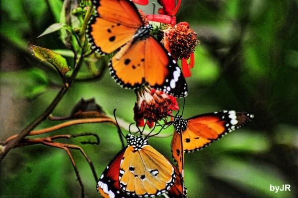 A trio of dacing butterflies.