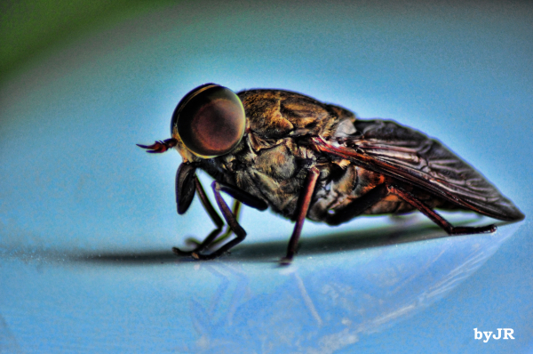 One big horsefly!