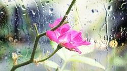 A Mini Rose In The Rain