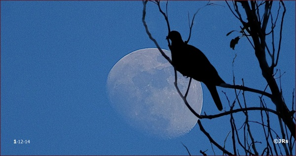 Moon and bird on a night's outting.