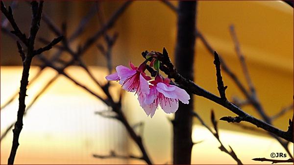 Cherry blossom time:)