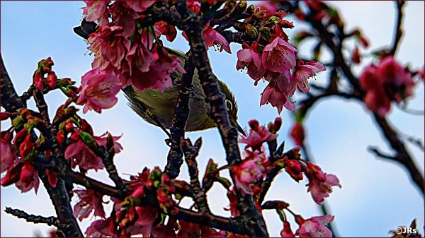 Cherry Blossoms and A Kawaii Little Bird.