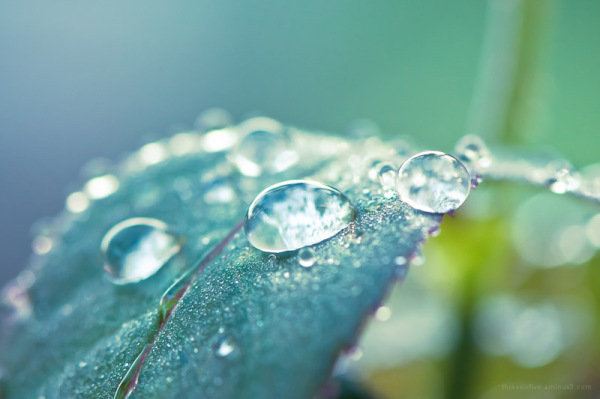 dewdrops on rose leaves