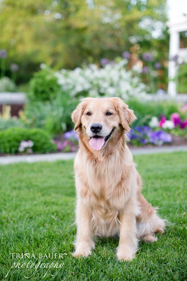 "Izzy dog ""golden retriever"""