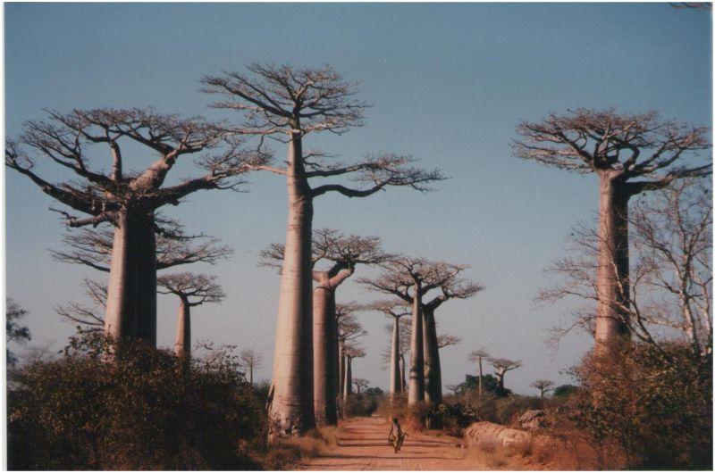 Un garçon et sa brouette dans l'allée des baobabs
