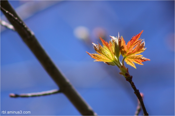 sugar maple bloom