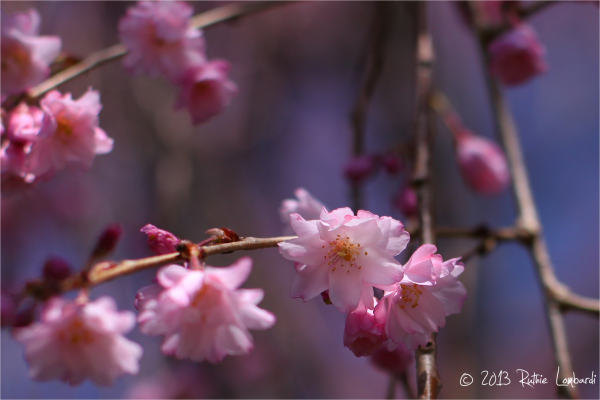 weeping cherry blooms