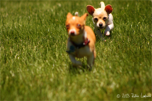 2 chihuahuas running in the grass