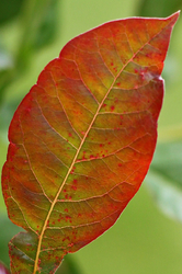 Black Gum Tree Leaf