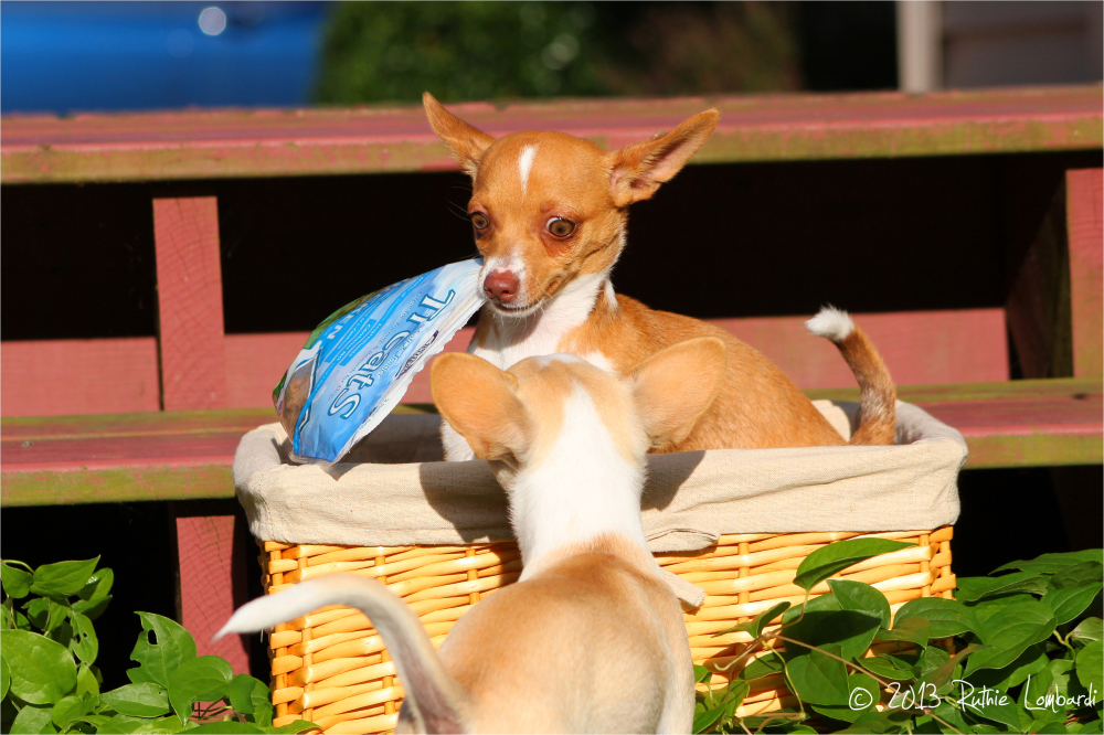 2 chihuahuas in a basket with treats