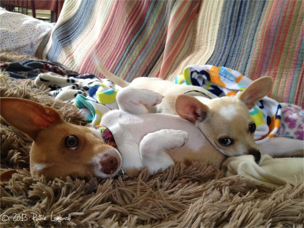 Sweet little chihuahuas