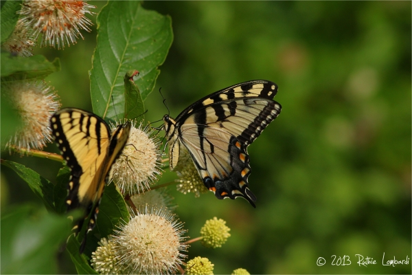 butterflies at nottingham park