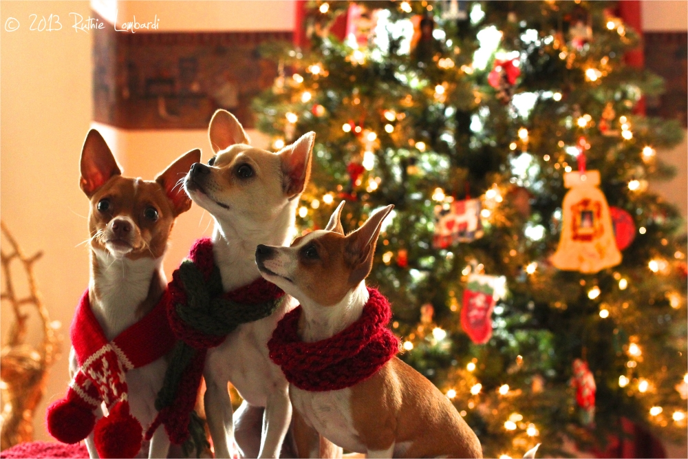 chihuahuas and christmas