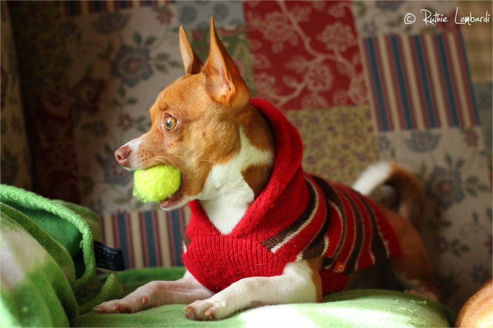 chihuahua with ball