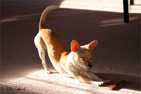 chihuahua stretching