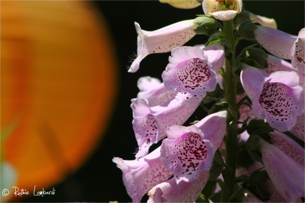 trumphet flowers