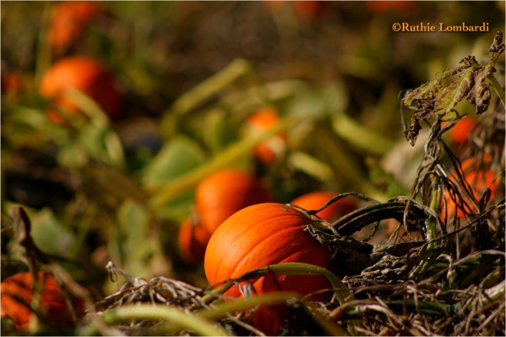 pumpkins pumpkino-patch halloween