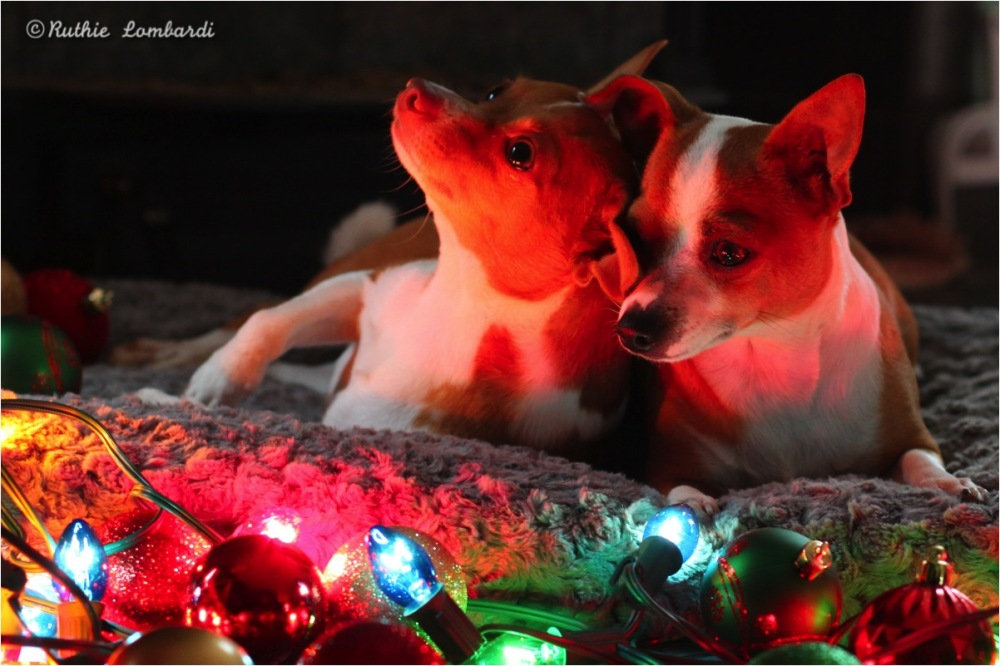 Chihuahua christmas cuddle