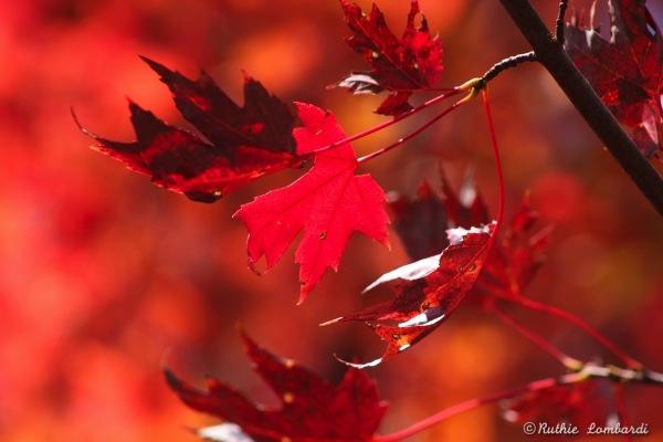 crimson leaves