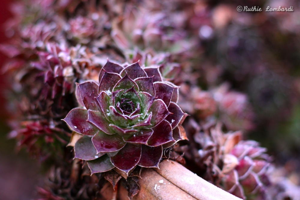winter hen and chicks