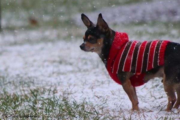 chihuahua in snow