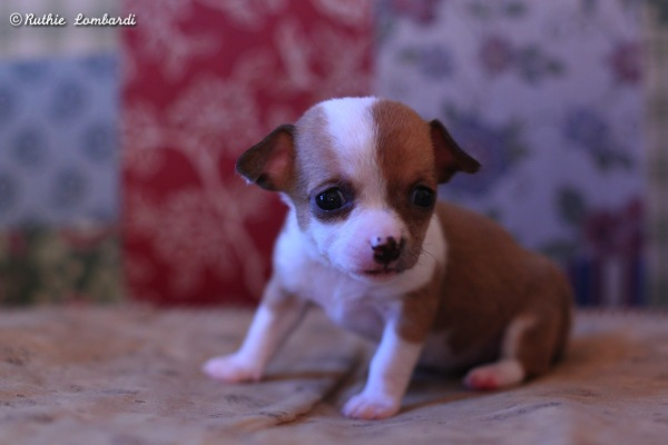 female chihuahua puppy