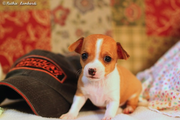 male puppy chihuahua