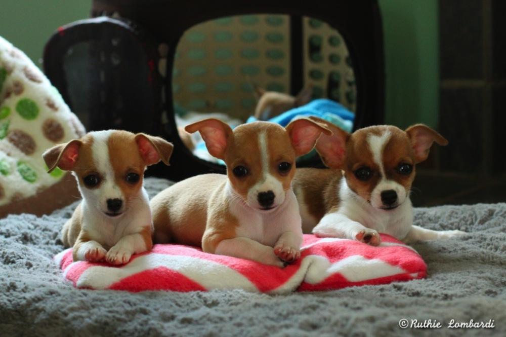 3 chihuahua puppies