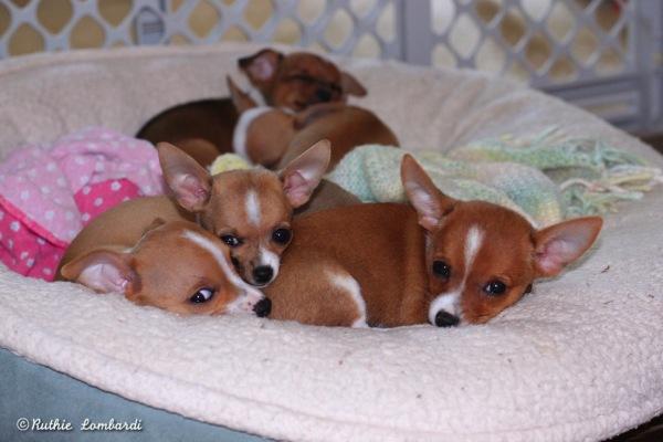 napping chihuahuas