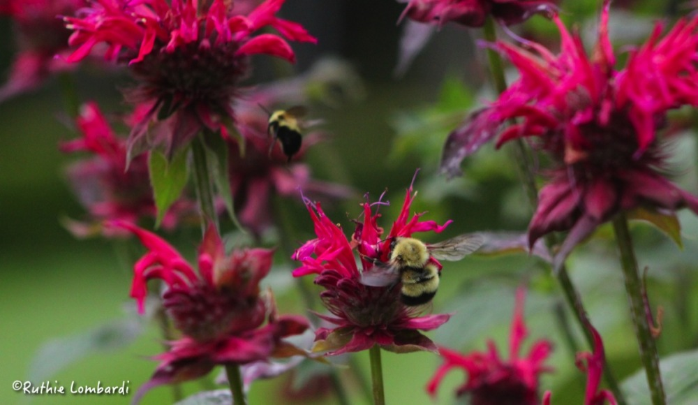 bee and bee balm