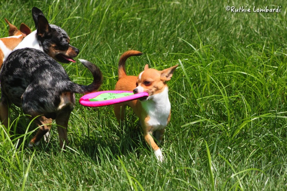 chihuahua puppy with frisbee