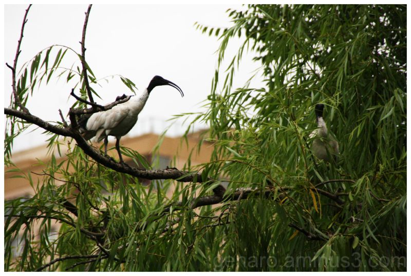 Ibis on a tree
