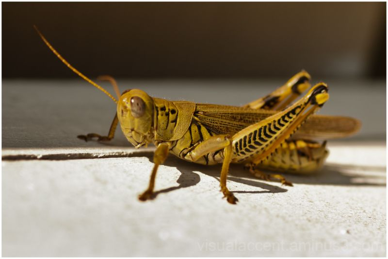 ...cricket - Animal & Insect Photos - Photography by ...