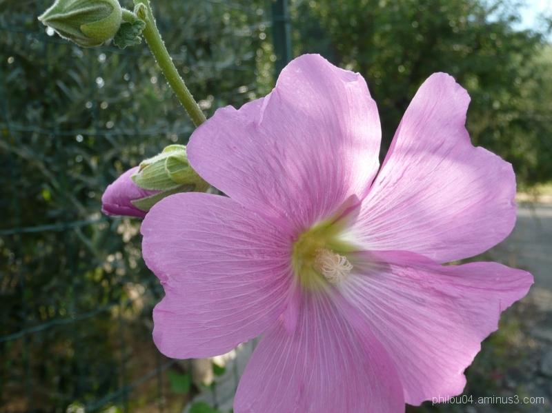 Fleur et bourgeon