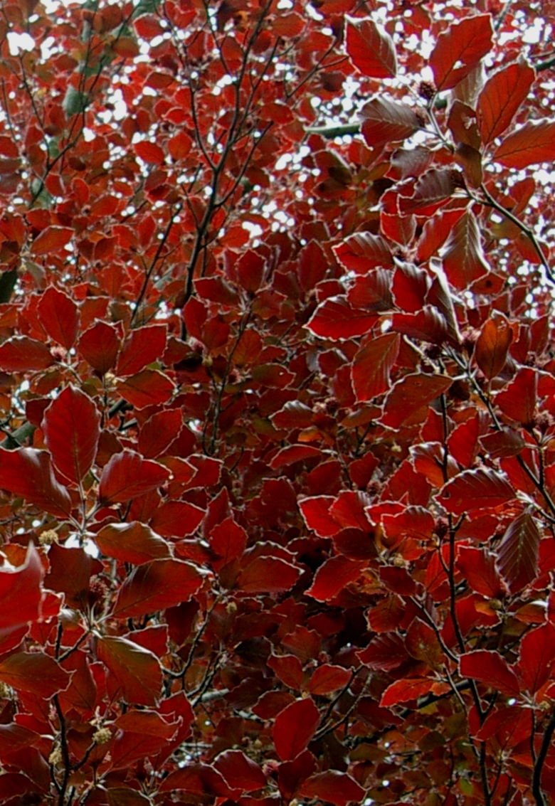 Spring red leaves