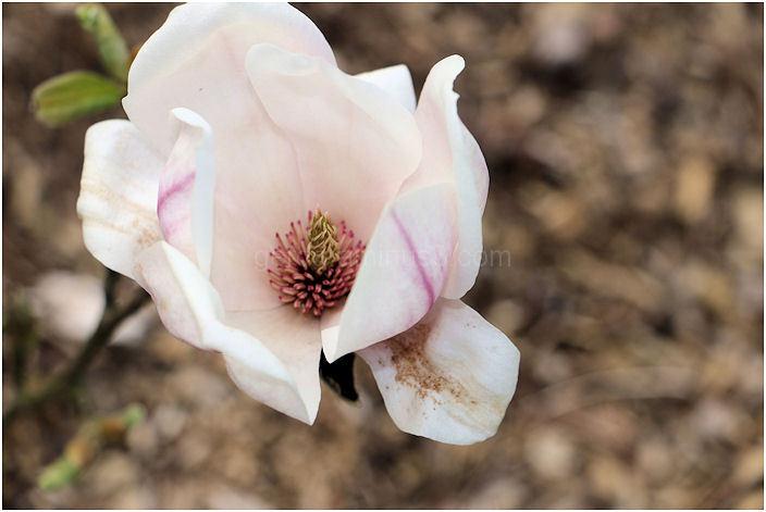 Het binnenste van een magnolia!