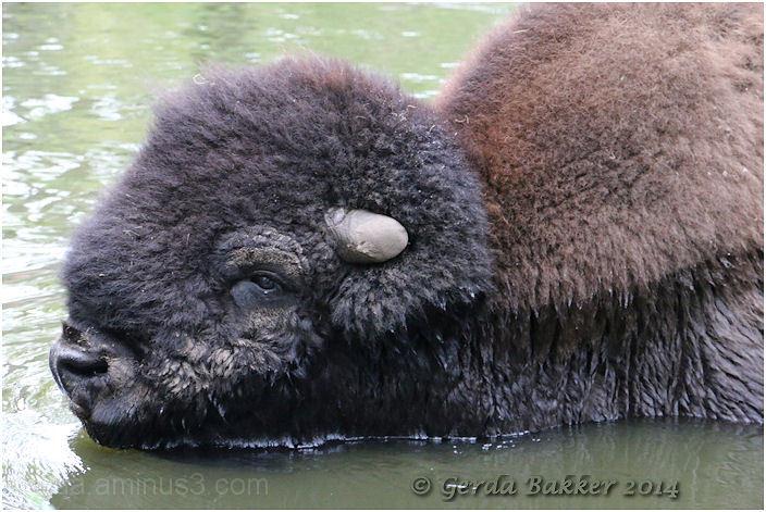 Prachtige bison!