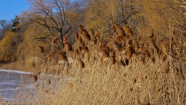 """High Park"" Toronto Winter pond ice reeds"