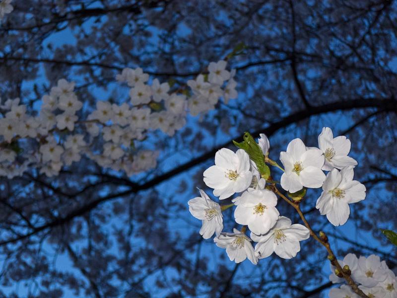 High Park Toronto, Spring, sakura, cherry, blossom