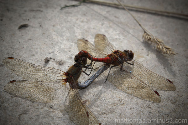 2 Dragon Flies on the ponds at Pleasley Pit
