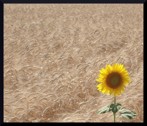 Le Soleil dans les blés