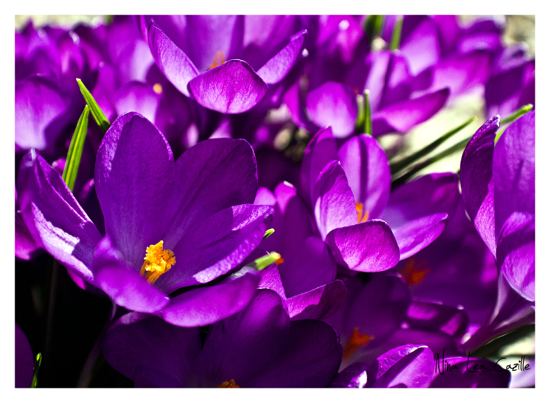 For the Love of Crocus