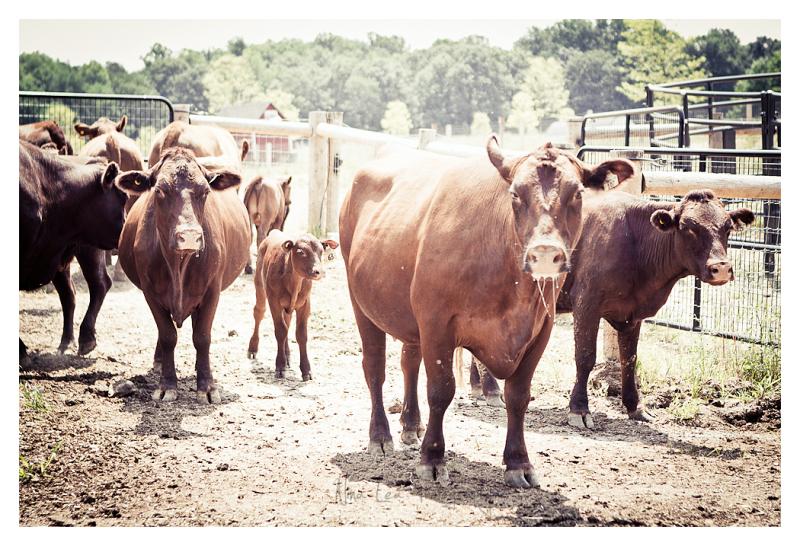 Wyebrook Farm Heffers