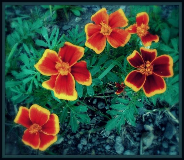 Rockie Marigolds
