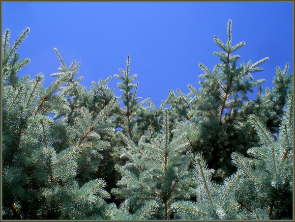 Pine tree posing