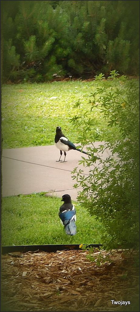 More Magpies