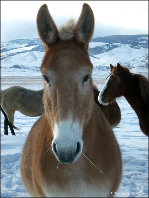A Mule in Winter