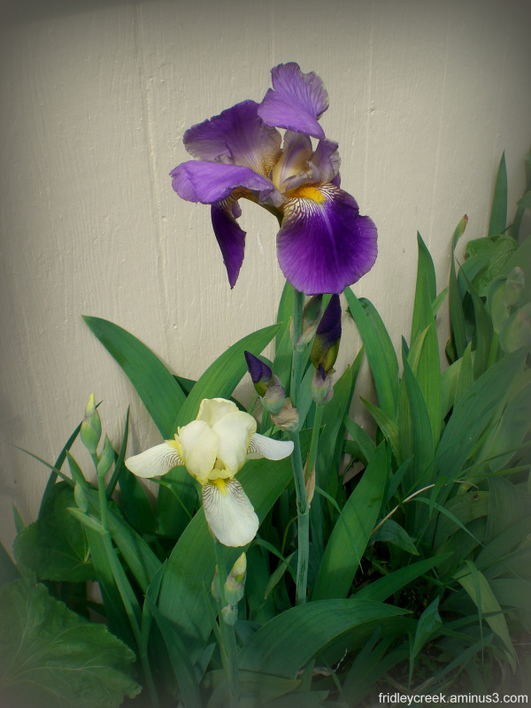 Iris family
