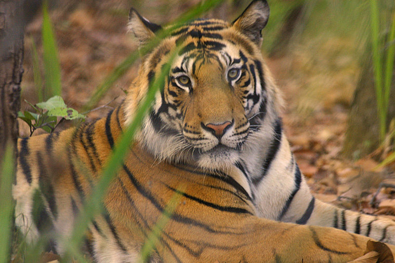 Here is the tiger…
